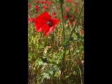 Poppy field 15