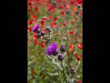 Poppy field with thistle