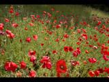 Poppy field 21