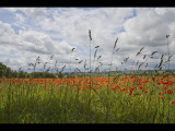Poppy field 22