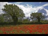 Poppy field 7
