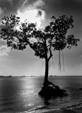 Mangrove on Misko Beach. L1015011.jpg