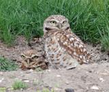 Owls, Burrowing,  4-17-2011