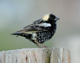 Bobolink   The Rowdy of the Meadow
