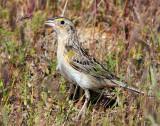 Sparrows, Grasshopper