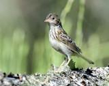 Sparrow, Grasshopper (Juveniles)