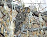 Owl, Long-eared 12/28/2009