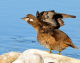 Duck, Harlequin  (Utah Female)