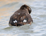 Ducks, Harlequin (10-25-2011)