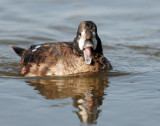 Duck, Harlequin (1st year male) 10-26-2011