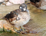 Duck, Harlequin (first year male) 10-28-2011