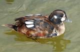 Ducks, Harlequin( 11-03-2011)