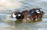 Ducks, Harlequin( first year bird) 11-03-2011