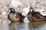 Ducks, Harlequin (11-08-2011)