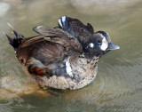 Duck, Harlequin (11-08-2011)
