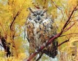 Owl, Great Horned (11-13-2011) Female
