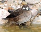 Ducks, Harlequin (11-15-2011)