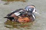 Duck, Harlequin 11-20-2011
