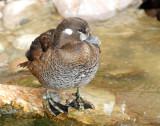 Duck, Harlequin (Female #2) 11-20-2011