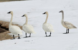 Swan's, Tundrampeter