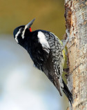 Sapsucker, Williamson's