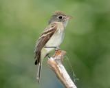 Flycatcher, Least (June 15, 2012)