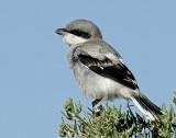 Shrike, Loggerhead (More Juvenile)