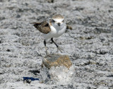 Snowy, Plover (Juvenile doing foot stands)