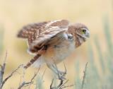 Owl, Burrowing  (Fledglings)