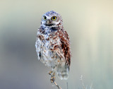 Owls,  Burrowing (More)