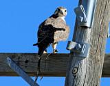 Falcon, Prairie w/ snare
