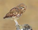 Owl, Burrowing  (July 20, 2012)