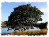A Historic Tree