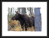 Another Moose