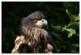 Pygargue à tête blanche (juv)- Bald Eagle (juv)