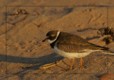 Pluvier semipalmé au soleil couchant - Sunset on Semipalmated Plover