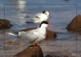 Sterne pierregarin - Common Tern