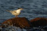 Sterne pierregarin - Common Tern (juvenile)