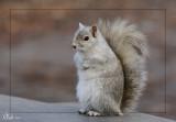 Écureuil gris partiellement albinos- Partly albino grey squirrel