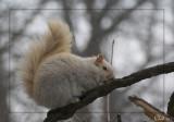 Écureuil leucique- Leucistic squirrel
