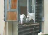 Royal horses (Spanische Hofreitschule)