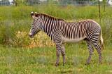 White stripes on a black animal or vice versa?