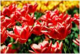 tulipFESTIVAL2011a.jpg