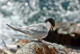 Tarapiroe, the black–fronted tern