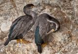 Spotted Shags (Cormorants)