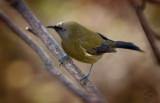 Koremako - The Bellbird