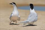 Tara, The White-Fronted Tern