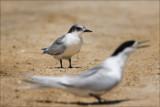 Tara, The White Fronted Tern & Chick