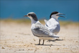Tara, The White-fronted Tern & Chick