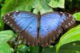 Common Blue Morpho (morpho peleides)